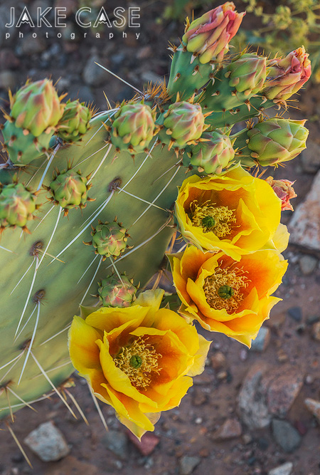 prickly pear cactus flower arizona