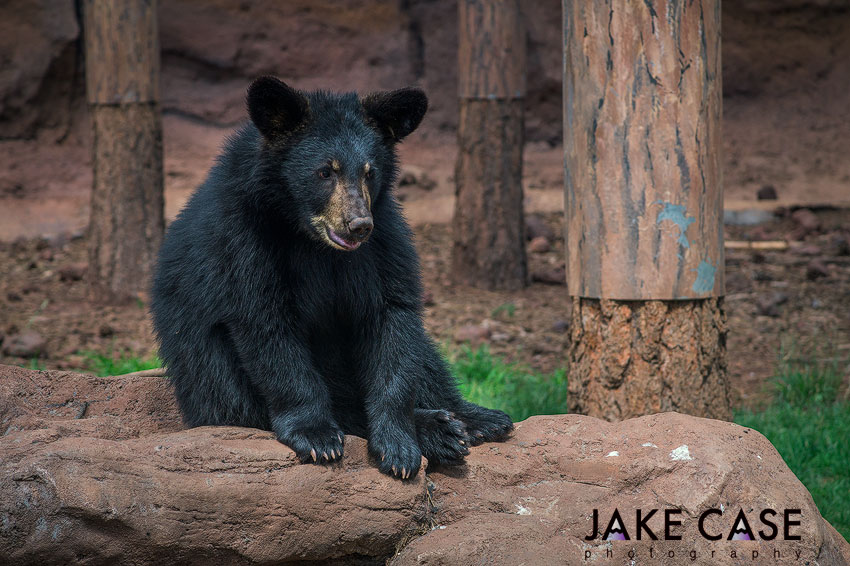 black bear cub bearizona