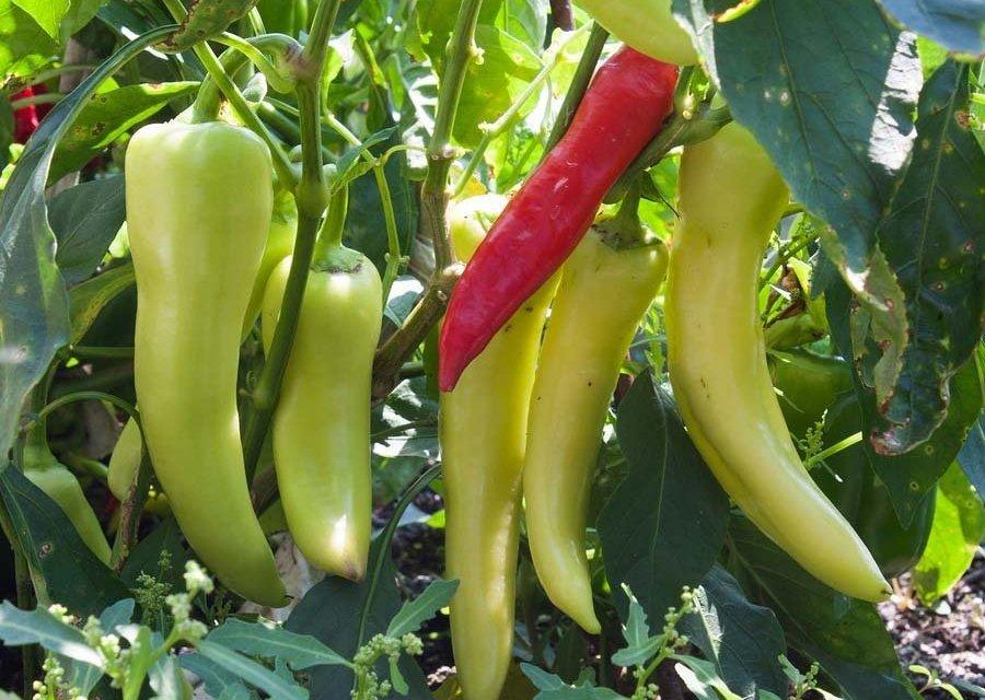 Banana Pepper Salami Bites