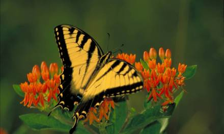 Five Butterflies Of Plumas County