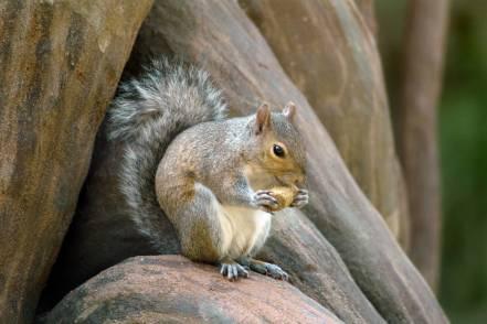 bigstock-Grey-Squirrel-4691478
