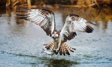 Raptor Rivalry, Fighting Over Fish Bald Eagle vs. Osprey