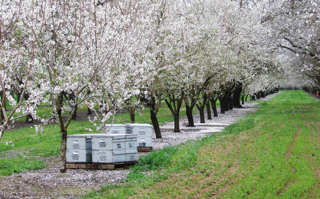 Almond Blossoms Farmers Partner With Nature For An Impressive Show