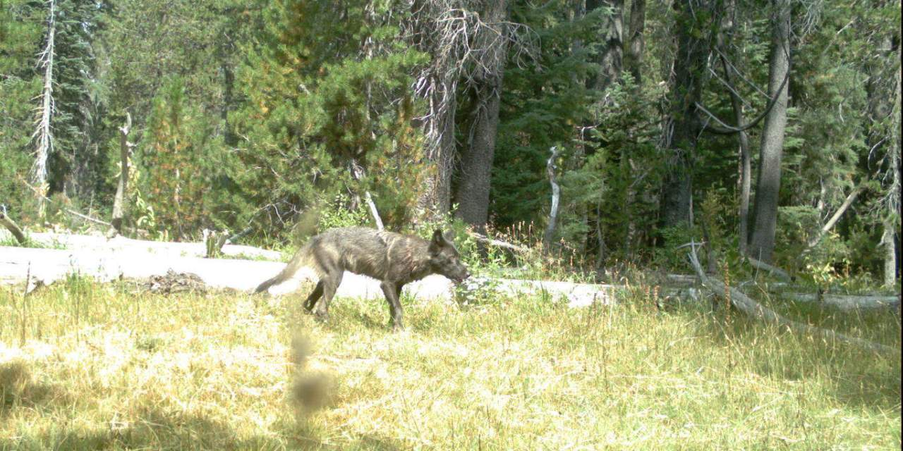 Grey Wolf Family In Our Neck Of The Woods