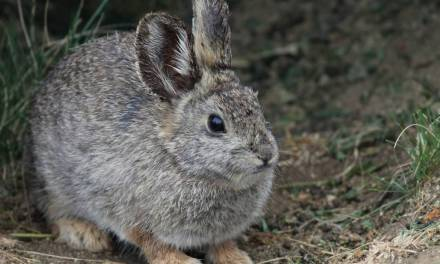 Wild Rabbits Of NorCal