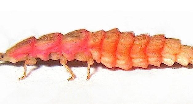 California's Pink Glowworm