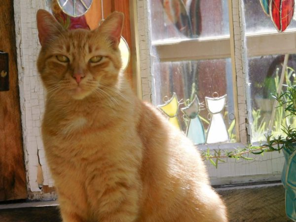 Photo of red cat in front of antique windows with cat suncatchers