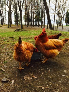 Mount Merino Manor hens