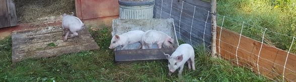 Pigs in feeder