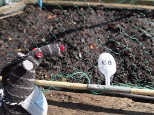 Bernard looks at a row labelled BB for broad beans, with netting over it.