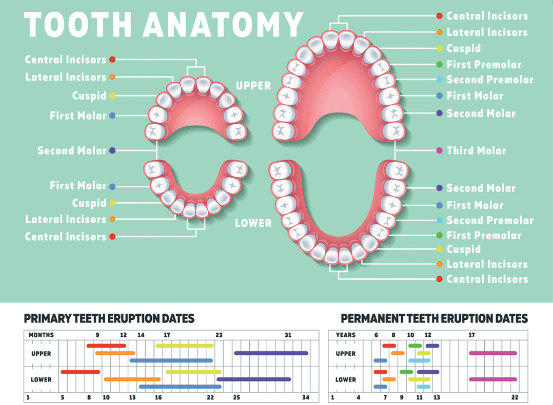 Adult Teeth Diagram With Numbers - House Wiring Diagram Symbols •
