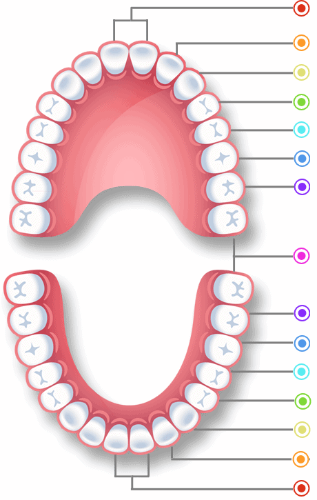 Diagram showing the 32 teeth that adults have.