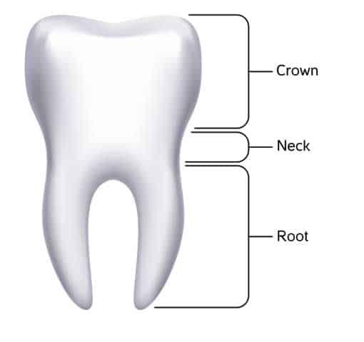 Teeth Anatomy - Mouthpower.org