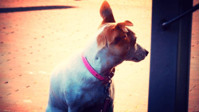De hond is het symbool van trouw. Maar we houden hem wel aan de lijn. Imre Sövény