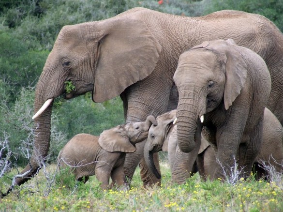 South Africa Kruger elephant family