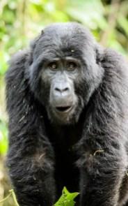 Rwanda Virunga Lodge, gorilla