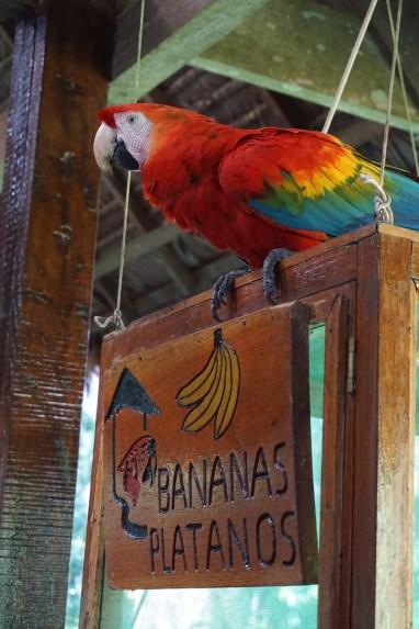 Scarlett Crested Macaw
