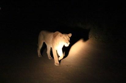 Lion Singita Lebombo