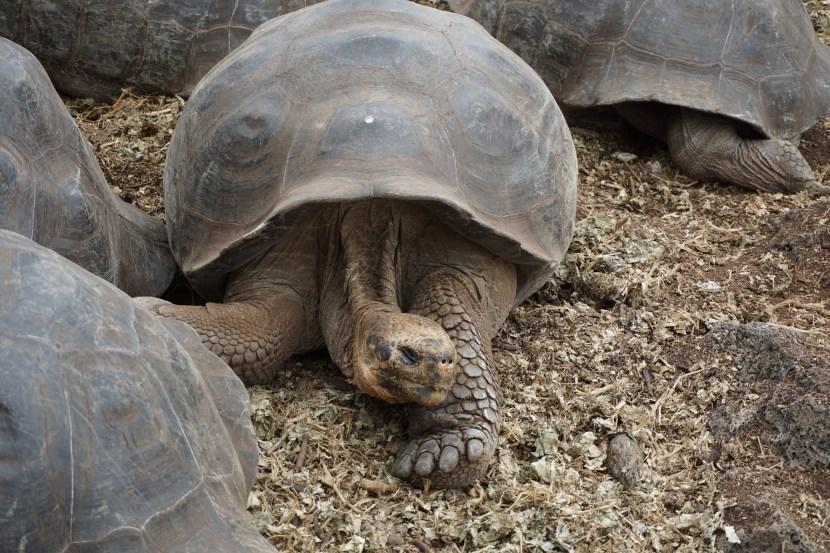 Tortoise Galapagos Islands