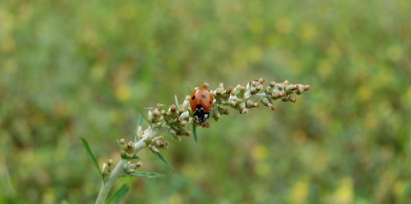 Ladybug on a plant tendril