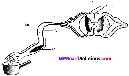 MP Board Class 10th Science Solutions Chapter 7 नियंत्रण एवं समन्वय 4