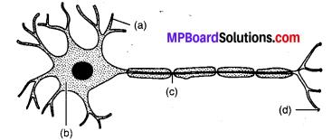 MP Board Class 10th Science Solutions Chapter 7 नियंत्रण एवं समन्वय 7