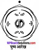 MP Board Class 11th Biology Solutions Chapter 5 पुष्पी पादपों की आकारिकी - 13
