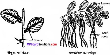 MP Board Class 11th Biology Solutions Chapter 5 पुष्पी पादपों की आकारिकी - 16