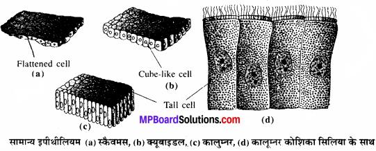 MP Board Class 11th Biology Solutions Chapter 7 प्राणियों में संरचनात्मक संगठन - 3