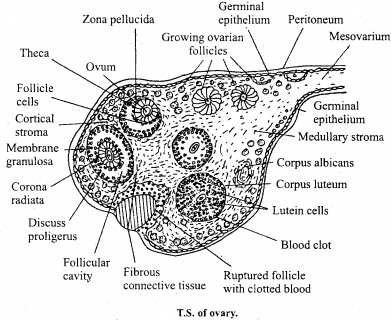 MP Board Class 12th Biology Important Questions Chapter 3 Human Reproduction 7