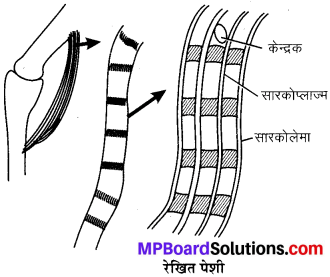 MP Board Class 9th Science Solutions Chapter 6 ऊतक image 2