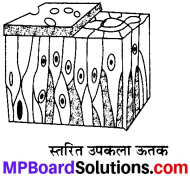 MP Board Class 9th Science Solutions Chapter 6 ऊतक image 30