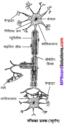MP Board Class 9th Science Solutions Chapter 6 ऊतक image 6