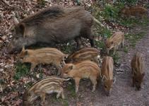 Jak odstraszyć dziki