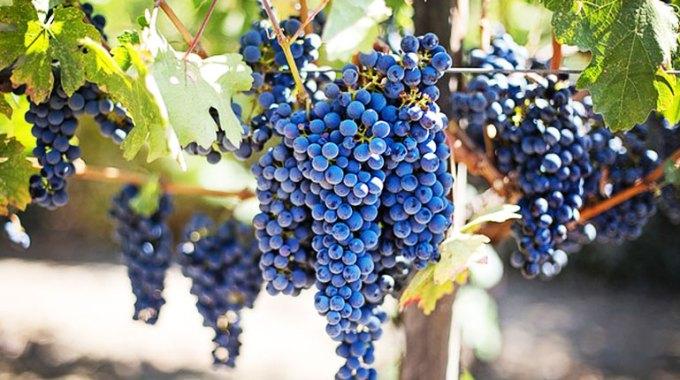 jak-uprawiac-winorosl