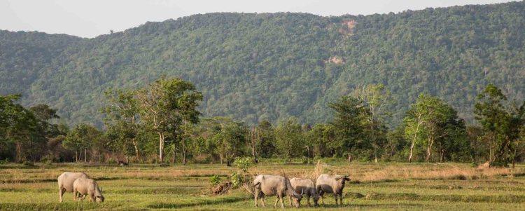水牛 buffalo