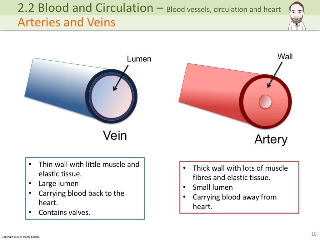 Igcse Blood Vessels Circulation And The Heart