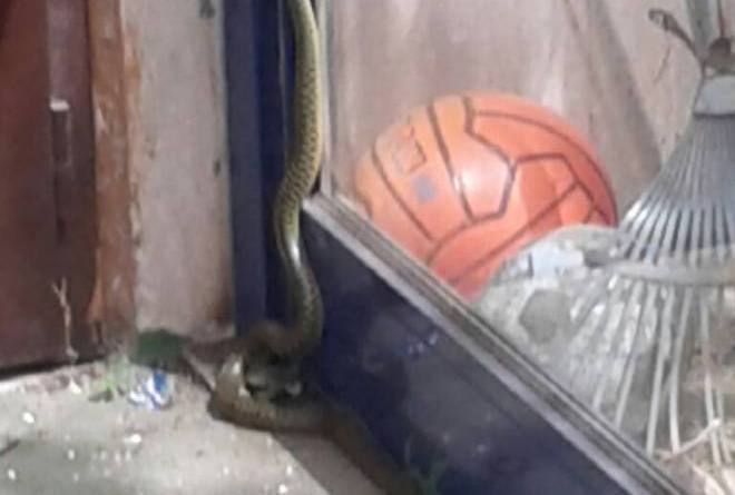 20150506 97089 testaccio - Due serpenti in una scuola di Roma