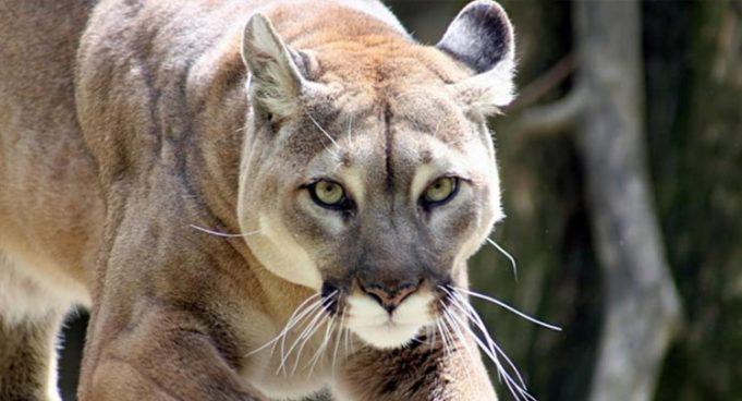 Puma o Pantera orientale, estinto