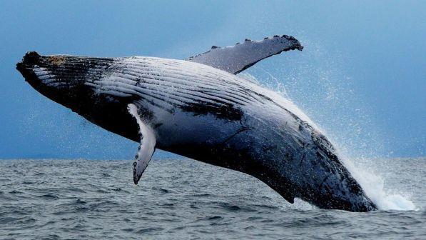 megattera4 - Mamma ho visto una Balena!