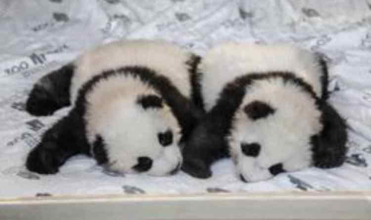 Panda - Panda gemelli a Berlino