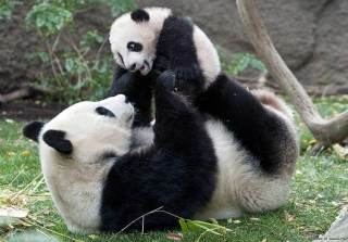 panda gigante 2 320x223 - Panda gemelli a Berlino