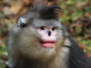 scimmia che starnutisce