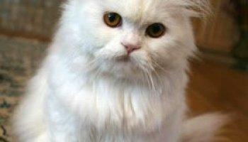 Info Ringkas Kucing Parsi Persian Cat