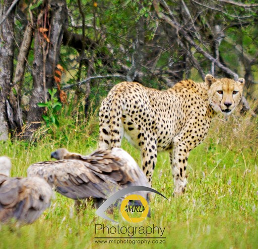 Cheetah and vultures