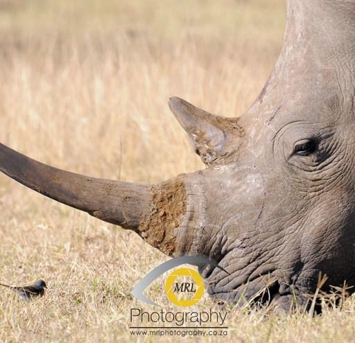 White Rhino and bird