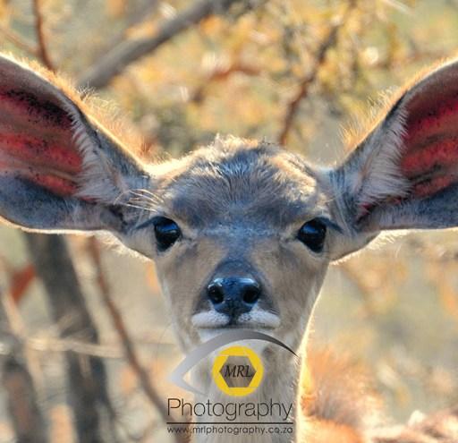 Young female Kudu