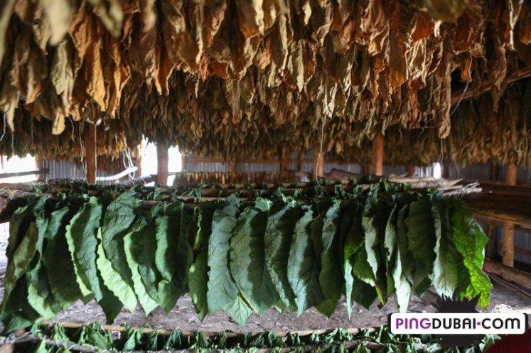 davidoff_cigars_fermentation_fields_dominican_192