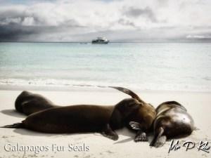 4-galapagos-fur-seals-on-espanola-island-galapagos