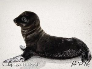 galapagos-fur-seal-on-espanola-island